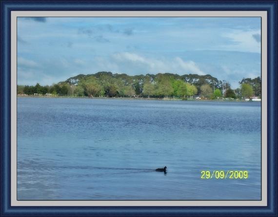 紐西蘭Hamilton 市Hamilton湖, 午後獨行鴨